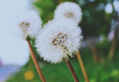 Dandelion don't tell no lies..... Blow away dandelion, blow away dandelion.. (erlingraahede) Tags: denmark holstebro simplicity beautiful wishing canon vsco poetic flowers dandelion