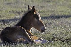 Nap Time (raineys) Tags: mustang wild horse nature monocounty california specanimal