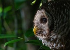 Watching and Waiting (PeterBrannon) Tags: bird birdphotography florida immature nature strixvaria tampa wildlife young barredowl owl portrait