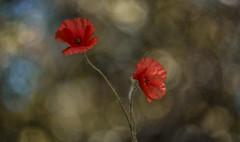 Papaver rhoeas (Torok_Bea) Tags: papaverrhoeas pipacs papaver flowers flower beautiful bokeh bokehbliss nikond7200 nikon nature natur wonderful wildflower helios heliosm44
