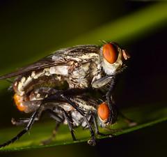 Mating Flies (Craig Tuggy) Tags: bangkok thailand fly insect mate mating macro tokina