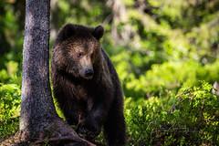 Young brown bear (CecilieSonstebyPhotography) Tags: bjørn markiii bear youngbear forest woods finland bamse canon5dmarkiii bokeh ef100400mmf4556lisiiusm canon bears brownbear animal specanimal