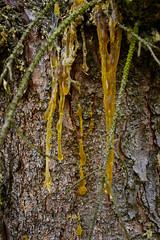 Baumharz (captain.orange) Tags: baum tree harz gelb rinde