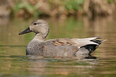 Gadwall (PhotoLoonie) Tags: duck gadwall waterbird wildlife nature bird attenboroughnaturereserve