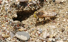 Tachysphex albocinctus f. 2023 (Henrik Gyurkovics) Tags: tachysphexalbocinctus tachysphex crabronidae squareheadedwasps hymenoptera wasps insects greece rhodes faliraki macro