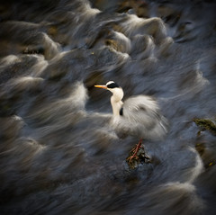 Heron in the stream (mond.raymond1904) Tags: heron dodder river stream slow shutter speer