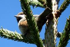 Boreal Chickadee (smkeereweer) Tags: borealchickadee poecilehudsonicus novascotia canada