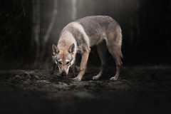 Lara Little Wofdog (Alicja Zmysłowska) Tags: wolfdog czechoslovakian wolf dog puppy pet forest workshop photography dogphotographer