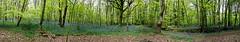 (Simon Caunt) Tags: doncaster sandallbeat bluebells oblong wideformat largeformat widescreen wideview panoramic panorama ©️simoncaunt