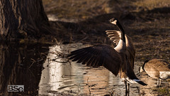 Basking in the Glow-2533.jpg (bryanstewartcreative) Tags: bryanstewartcreative goose geese canada canadagoose mate mates male female pair bird birds birding animal wings flap flapping sunset sunsetlight goldenhour composition light lighting drama dramatic vibrant tone tones nature wildlife naturephotography birdphotography wildlifephotography fowl waterfowl nikon nikond810 d810 michigan southeastmichigan metrodetroit puremichigan naturalmichigan thegreatlakesstate naturelovers michiganawesome awesomemitten puremichiganders michiganders pond water edge shore stretch intimidating intimidation territory
