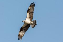 Feather counter (ChicagoBob46) Tags: osprey bird jndingdarlingnwr florida sanibel sanibelisland nature wildlife coth5 naturethroughthelens ngc npc