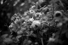 rosesummicron (samica jones) Tags: leica m240 garden 90mm summicron droplets