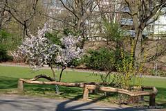 Urbane Idylle im Volkspark (Sockenhummel) Tags: busch volksparkwilmersdorf park baum mandelbaum wilmersdorf baumblüte fuji xt10