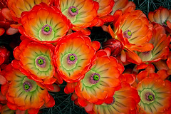 Claret Cup Blossoms (Eric Gofreed) Tags: arizona barrelcactus barrelcactusblossum cactu cactusflower sedona villageofoakcreek yagvapaicounty