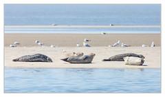 JEDEM TIERCHEN SEIN PLÄSIERCHEN (Dieter Gora) Tags: jedemtierchenseinpläsierchen seal commonseal seehund büsum nordsee norddeutschland