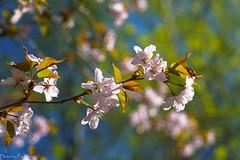 Sakura branch / Ветка сакуры (Vladimir Zhdanov) Tags: spring russia moscow sakura cherry flower tree sky nature leaf foliage garden