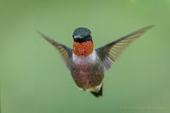 Ruby-throated Hummingbird (Kevin James54) Tags: archilochuscolubris nikond850 peacevalleypark rubythroatedhummingbird tamron150600mm animals avian bird hummingbird kevingianniniphotocom