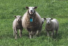 Happy sheep (CarolienCadoni..) Tags: sonyilcaa99m2 sony ilca99m2 sal70200g2 70200mmf28gssmii sheep animal drenthe netherlands