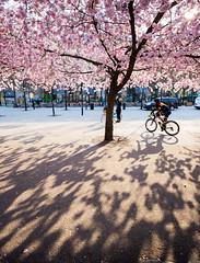 Kungsträdgården, Stockholm, April 25, 2019 (Ulf Bodin) Tags: kungsträdgården sverige canonef1635mmf4lisusm streetphotography outdoor sakura vår cherryblossom körbärsblom tree shadows spring stockholm biker canoneosr sweden urbanlife stockholmslän