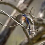 Eastern Bluebird thumbnail