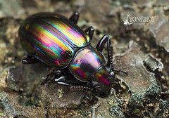 Rainbow-colored Darkling Beetle (Yongi Ng) Tags: tenebrionidae darklingbeetle