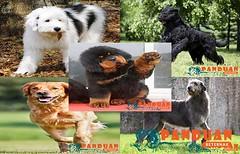 Jenis Anjing Paling Mahal Dan Lucu (panduanbeternak) Tags: jenis anjing paling mahal