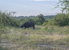 DSC_3051_1 (Marshen) Tags: capebuffalo botswana