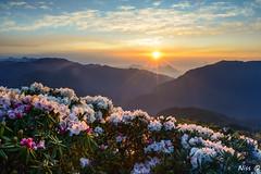 高山杜鵑花日出  High mountain flower sunrise (Niss Liu) Tags: 高山杜鵑 日出 台灣 合歡山 高山杜鵑花日出 high mountain flower sunrise taiwan hehuan 逆光手法