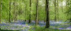 BLUEBELLS (chrisfay55) Tags: forest bluebells woodland uk england hampshire