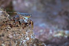 Sally Lightfoot Crab Sunbathing (Dan Demczuk) Tags: dandemczuk canon 7dmkii nature wildlife crab aruba grapsusgrapsus sallylightfootcrab sallylightfoot babybeach