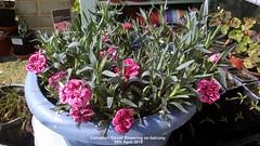 Carnation 'Oscar' flowering on balcony 29th April 2019 (D@viD_2.011) Tags: carnation oscar flowering balcony 29th april 2019