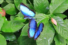 Blauer Morphofalter - Peleides blue morpho (Noodles Photo) Tags: schmetterlinge butterfly insekten insecta lepidoptera nymphalidae edelfalter satyrinae augenfalter morphini morpho morphopeleides blauermorphofalter peleidesbluemorpho commonmorpho theemperor zookrefeld nordrheinwestfalen northrhinewestphalia deutschland germany canoneos7d ef24105mmf4lisusm
