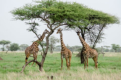 Foggy Morning (seedosip) Tags: serengeti tanzania wildlife safari nikond7000 africa