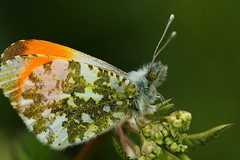 Orange Tip Butterfly at Old Winchester Hill, Hampshire (Art-G) Tags: insect butterfly orangetipbutterfly macro bokeh oldwinchesterhill hampshire uk canon eos7dmkii tamron90mmucvsd sundaylights