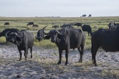DSC_3086_1 (Marshen) Tags: capebuffalo botswana