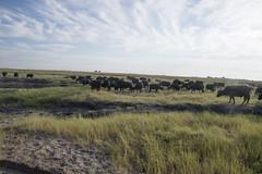 DSC_3088_1 (Marshen) Tags: capebuffalo botswana
