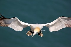 Gannet - RSPB Bempton Cliffs - 2019-04-22 (BillyGoat75) Tags: gannet seabird bird britishbird nature wildlife rspb bemptoncliffs bempton eastyorkshire eastriding