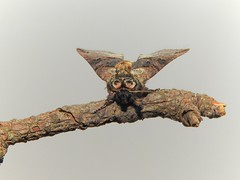 The Spectacle Moth (Abrostola tripartita) (Nick Dobbs) Tags: the spectacle moth abrostola tripartita insect dorset nocturnal noctuidae plusiinae