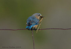 Eastern Bluebird (Arvo Poolar) Tags: outdoors ontario canada cardenontario arvopoolar bird easternbluebird female nature naturallight natural nikond7000 naturephotography