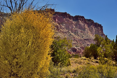 Yellow and Greens with Cliff Walls as a Backdrop (Capitol Reef National Park)