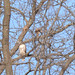 Red Tailed Hawk - Life Bird