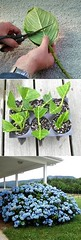 Grow Hydrangea from Cuttings (Read News) Tags: httpswwwinstaglobalcogrowhydrangeafromcuttings