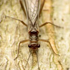 Spring Stonefly (treegrow) Tags: rockcreekpark washingtondc nature lifeonearth raynoxdcr250 arthropoda insect plecoptera nemouridae