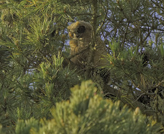 Another of the Golden Gate owlets (ricardo00) Tags: great horned owlets san francisco goldengatepark