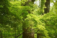 京都・糺の森 ∣ Tadasu no Mori・Kyoto [EXPLORED] (Iyhon Chiu) Tags: 日本 京都 京都市 下鴨神社 下鴨 糺の森 kyoto japan forest green tree leaf 緑葉 新緑