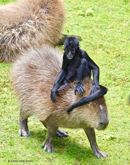 Taxiritje (Karin Michies) Tags: aap aapjeskijken monkey zwarteslingeraap capibara apenheul taxiritje lieverluidanmoe goedzak vervoer transfer dieren animals dierentuin zoo
