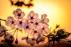 夕陽桜 #1ーSunset Cherry Blossoms #1 (kurumaebi) Tags: yamaguchi 秋穂 nikon d750 nature 山口市 landscape 桜 cherry cherryblossom 菜の花 spring 春 sunset 夕陽 macro マクロ dusk