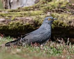 Cuckoo (wryneck94) Tags: birdwatching surrey