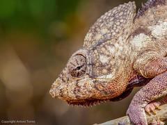 Detalle de la cabeza del Furcifer oustaleti (Camaleon de Oustalet) (vfr800roja) Tags: camaleondeoustalet morondava kirindy madagascar furciferaoustaleti boscdekirindy regióndemenabe