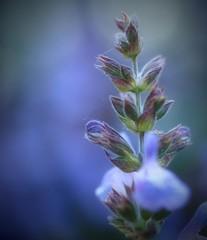 Tardes en blau (jocsdellum) Tags: blau blue azul flor flower salvia jardí garden primavera springtime tardes afternoon greatmoments planta nature